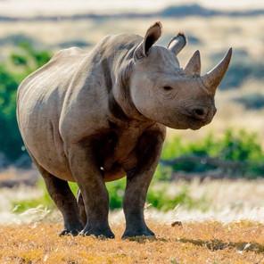 Black Rhinos: A Crisis