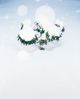 Schneestrauch