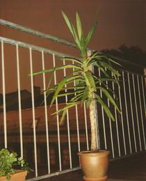 Pflanze, Balkon 13 07 06