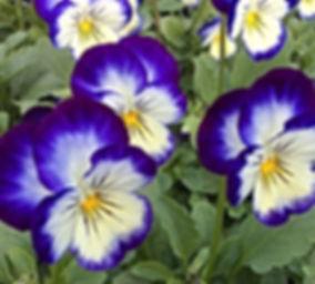 Viola_edited.jpg