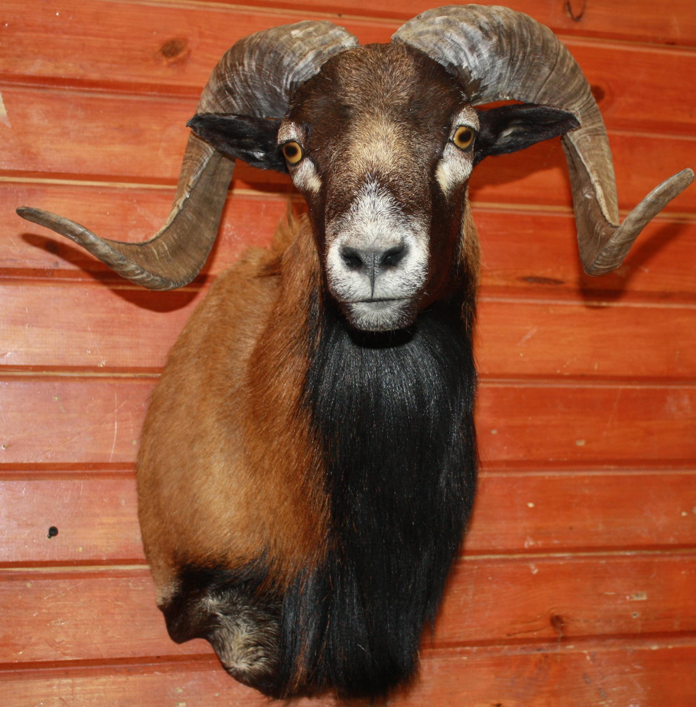 Corsican Sheep.JPG