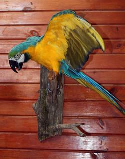 Amazon Parrot.jpg
