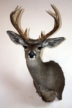 Mexican Coues Deer