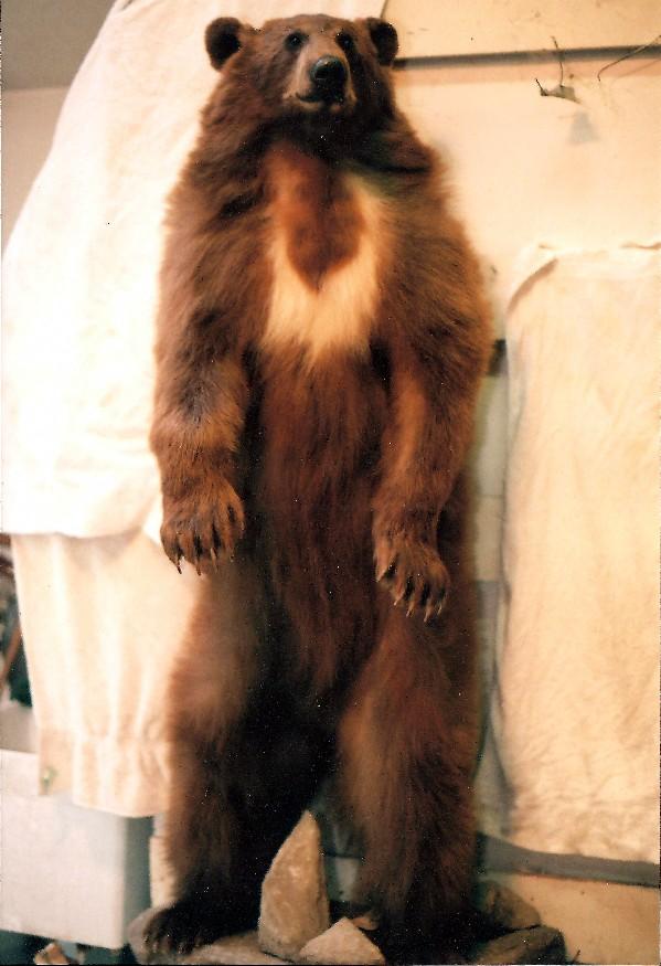 Cinnamon Bear.jpg