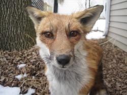 Fox up Close.JPG