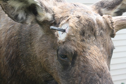 Moose with heavy mounting pin.jpg