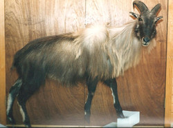 Exotic Lifesize Tahr.jpg