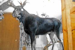 Moose being mounted.jpg