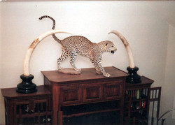 Leopard with Elephant Tusk