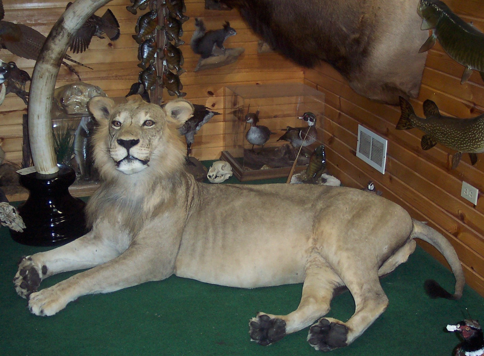 Lion in shop.jpg