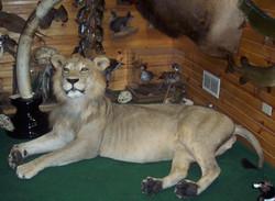 Lion in shop.jpg