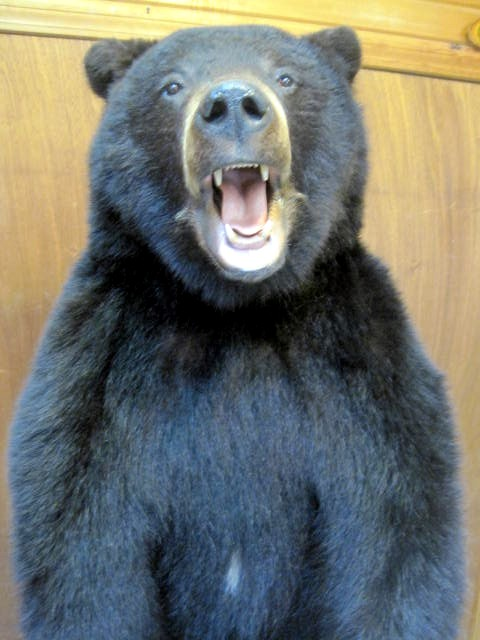 Black bear Closeup.jpg