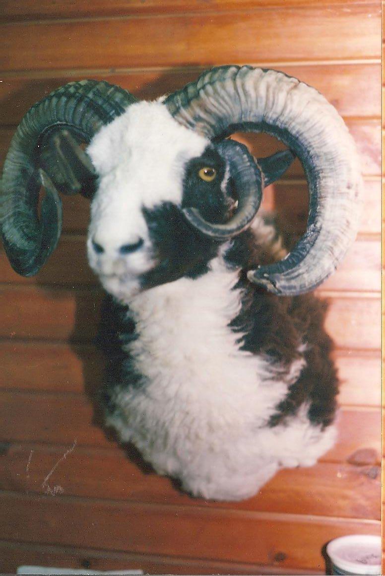 Exotic FourHorned Sheep2.jpg
