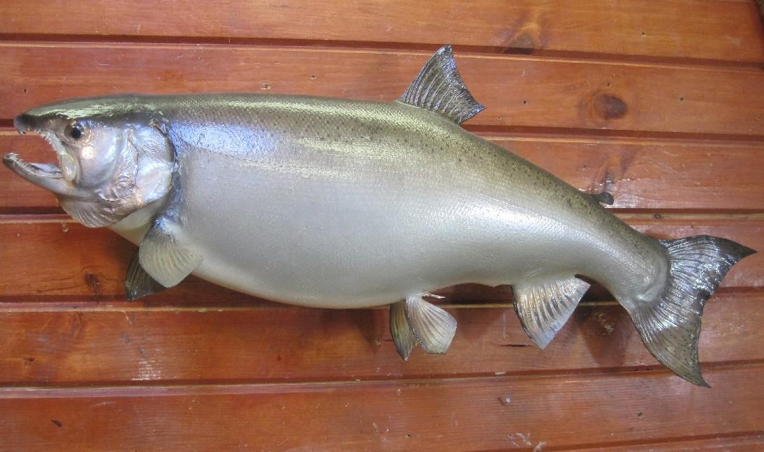 Summer Coho Salmon.jpg