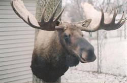 Canadian Moose.jpg