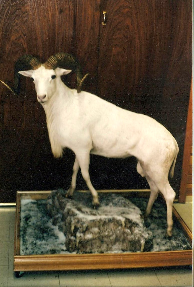 Exotic Lifesize Texas Dall Sheep.jpg