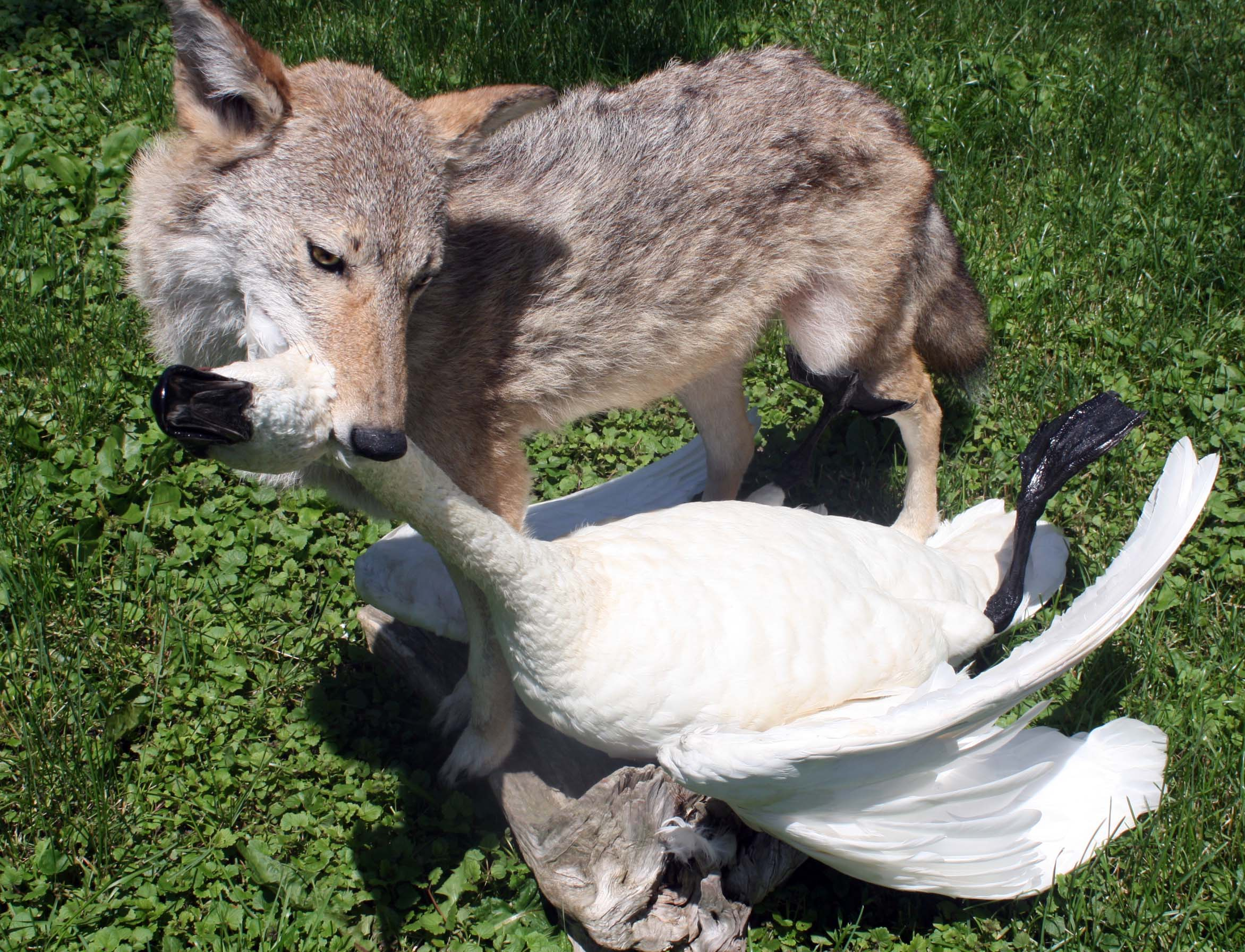 Coyote with swan