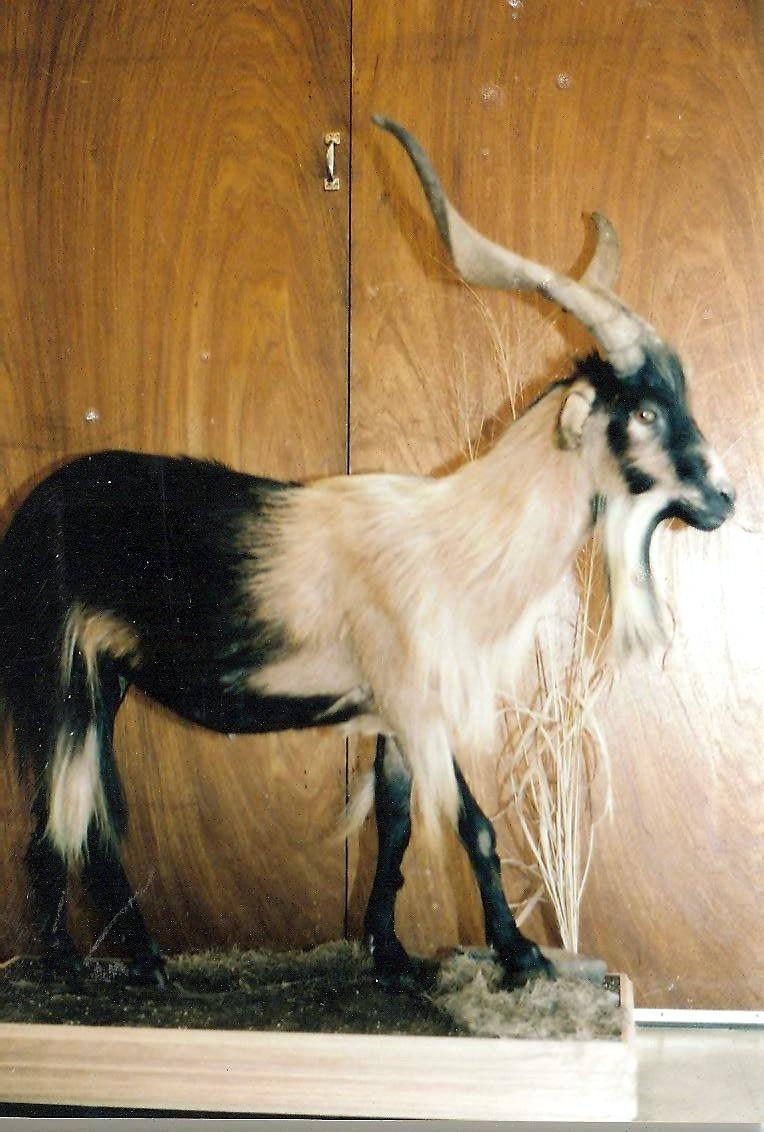 Exotic Spanish Goat on Oak Base.jpg