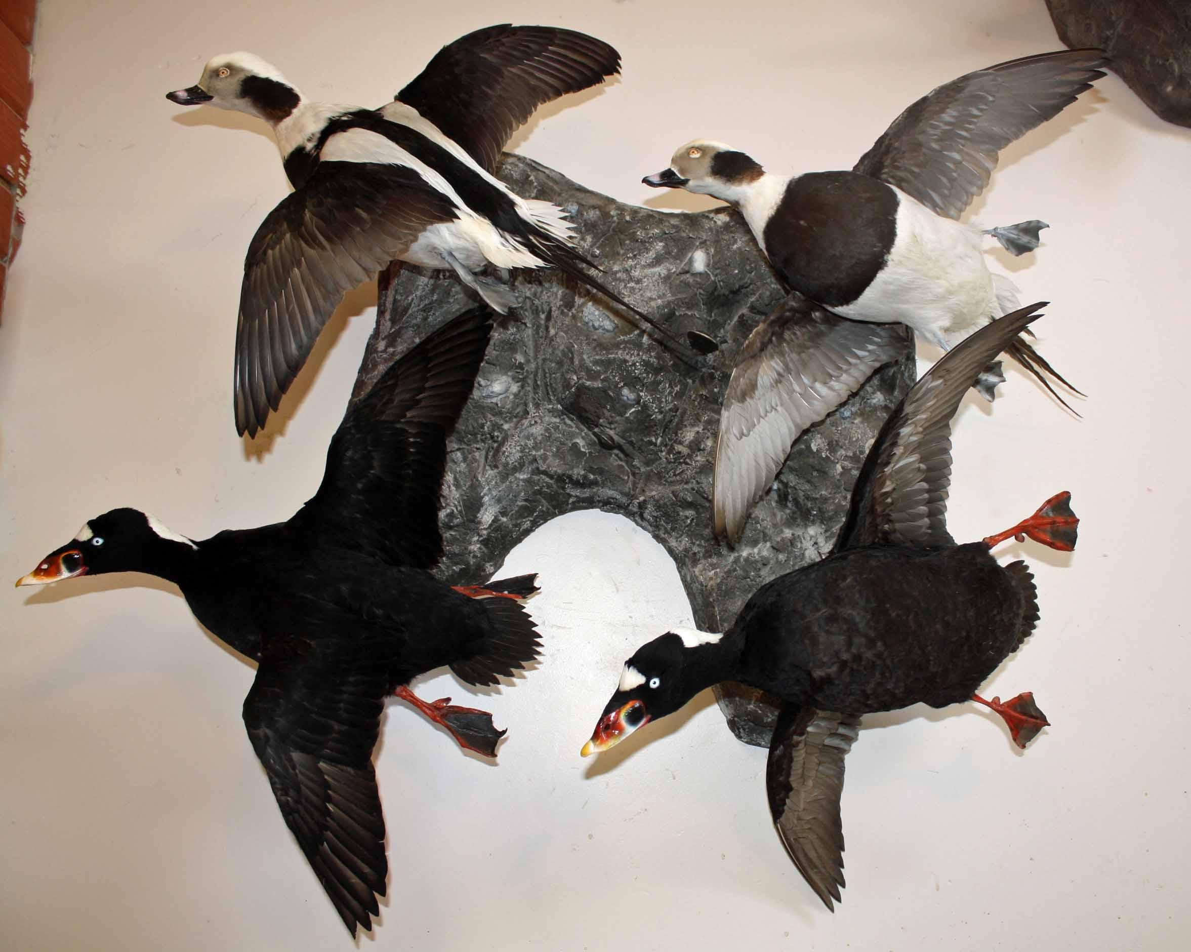Sea ducks on a Rock.jpg
