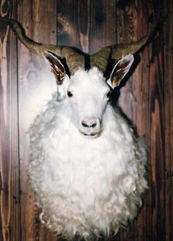 Angora Goat.jpg