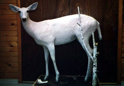 Albino Doe