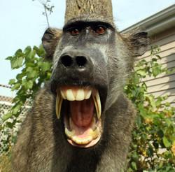 Closeup Chacma baboon.JPG