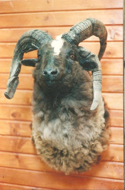 Exotic FourHorned Sheep.jpg