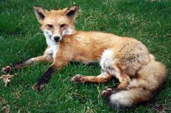 Reclining Fox in grass