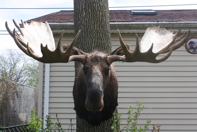 Moose Alaska.jpg