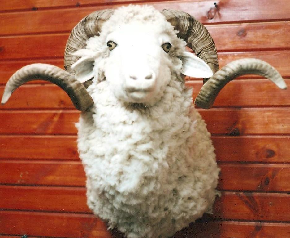 Barbarosa Sheep.jpg