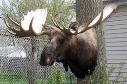 Moose Alaskan.jpg