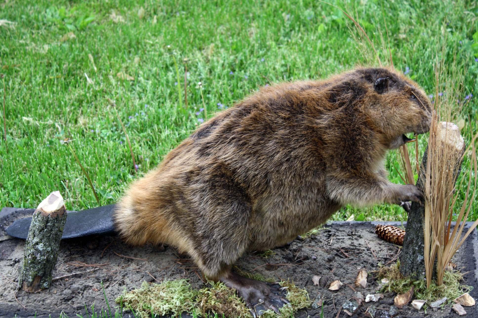 Beaver Closeup.jpg