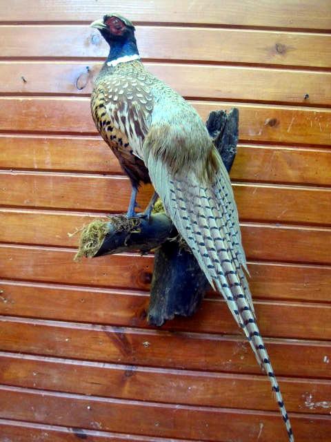 Ringneck Pheasant.jpg