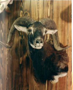 Exotic Corsican Sheep.jpg