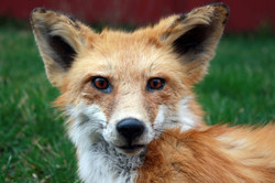 Close up Face of Fox