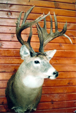 Canadian Whitetail