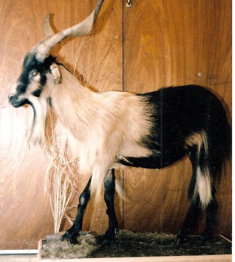 Spanish Goat.jpg