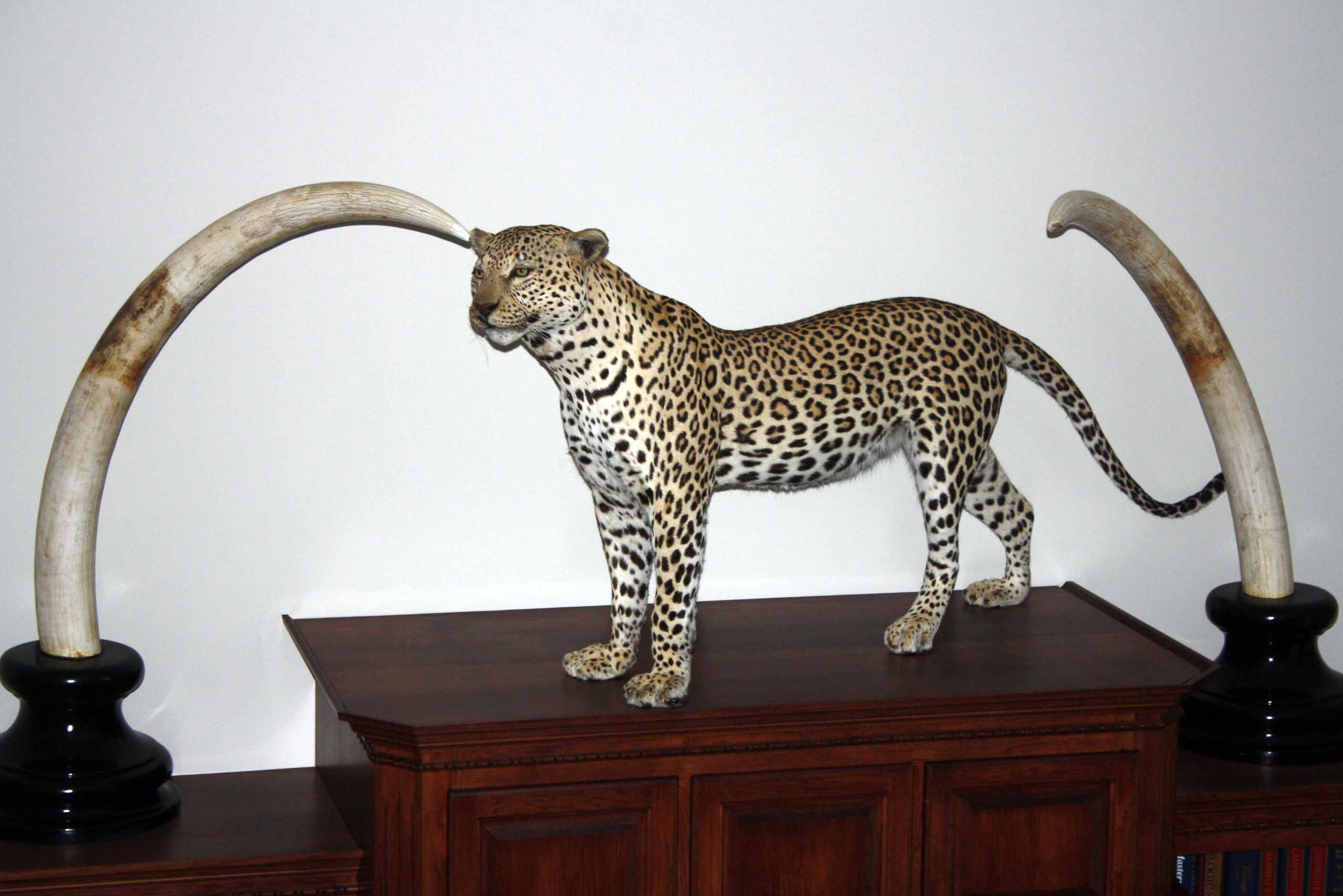 Leopard  and Elephant  Tusk