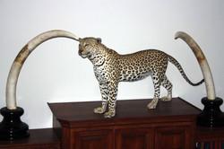 Leopard  and Elephant  Tusk
