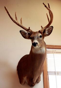 Deer in velvet