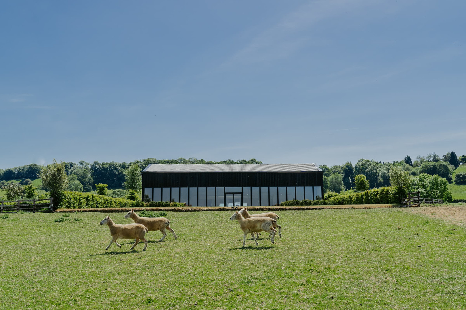 Sheep in front of barn Primrose Hill Farm Wedding Venue with view of the cotswolds