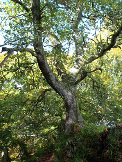 Faery tree.
