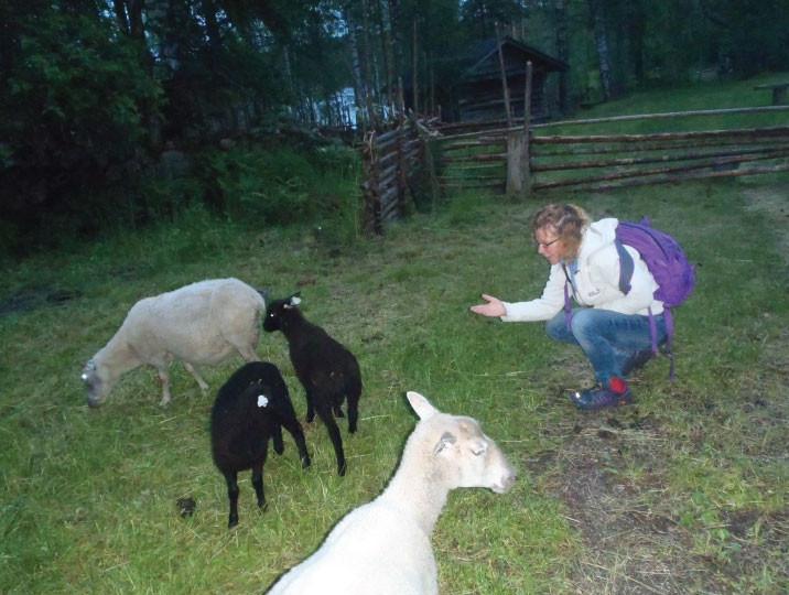 Lampaat hoitavat perinnetilan pihapiiriä