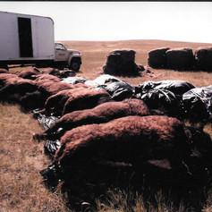 Buffaloes off-loaded