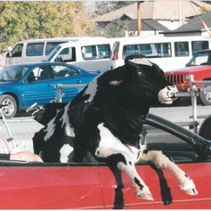 Cow puppet in car