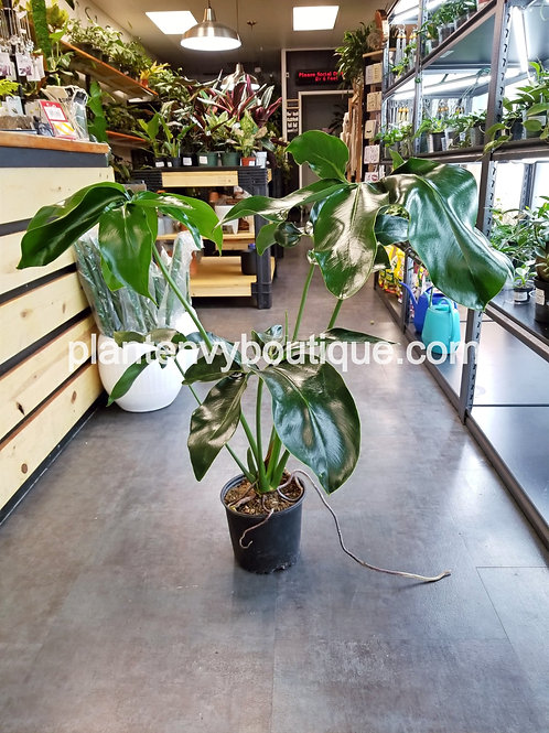 """8"""" Philodendron Nobel"""