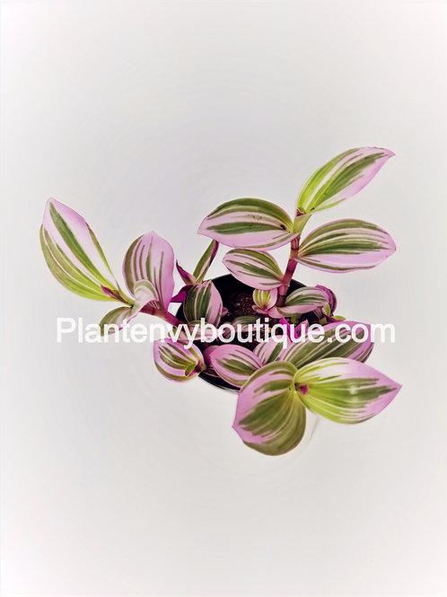 """4"""" Tradescantia Nanouk (Pink)"""