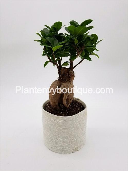 """5"""" Ficus Ginseng"""