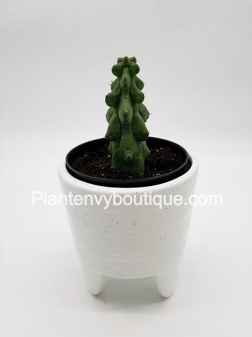 """4"""" Boobie Cactus"""