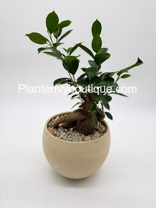 """Ficus Ginseng in 6.5"""" Marble Planter"""